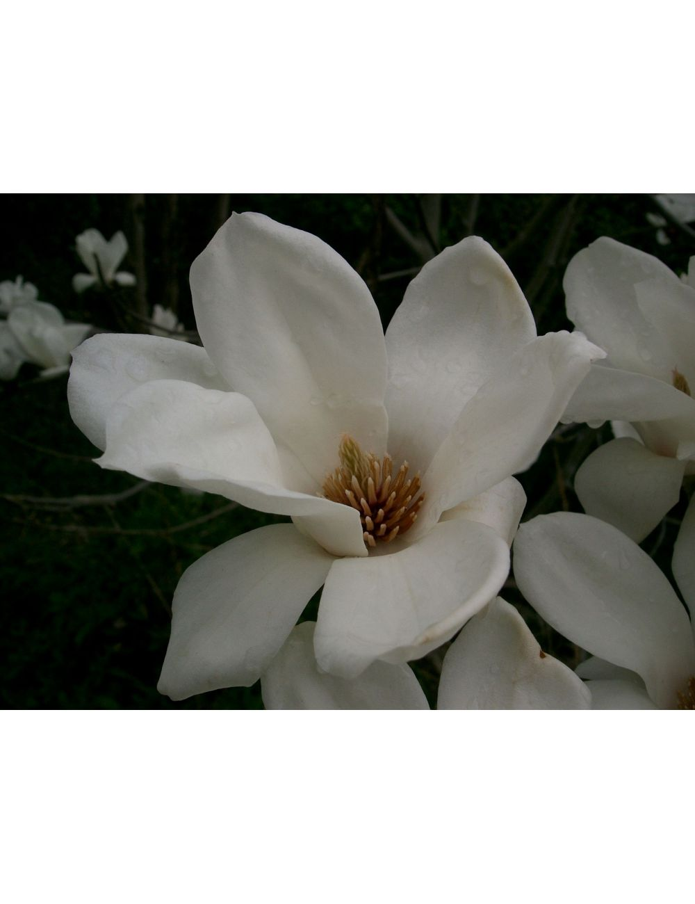 Clematis Resistenti Al Freddo magnolia yulan vaso 24 cm - vendita on line - solopiante.it