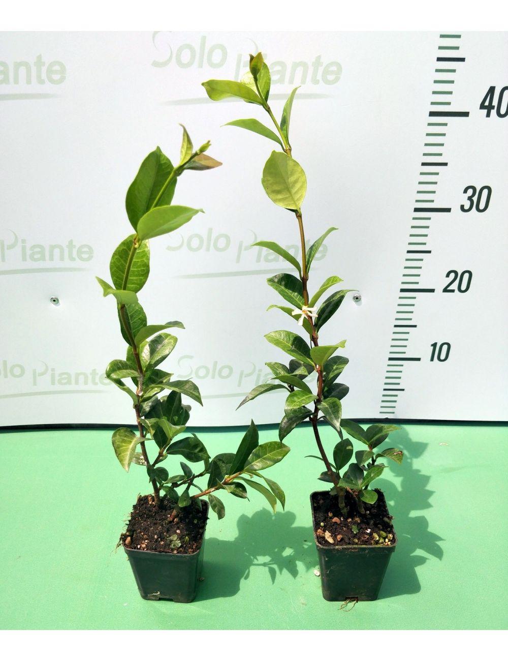 25 x Gelsomino (Trachelospermum Jasminoides) - pack