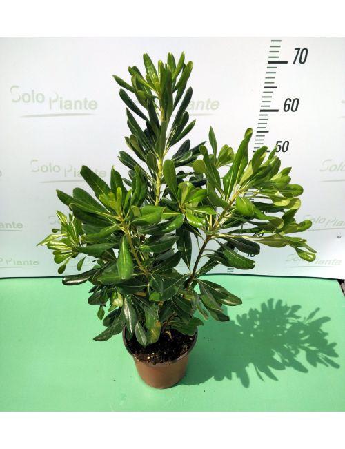Pittosporum Tobira (Pitosforo)