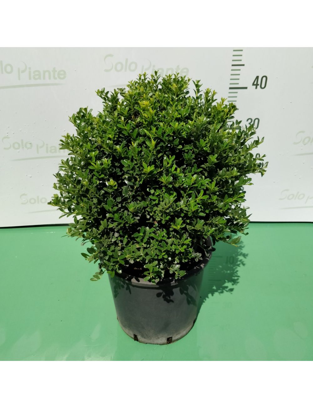 Come Potare A Palla sfera di ilex crenata - vendita piante on line - solopiante.it