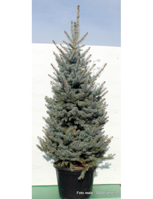 "Abete Azzurro ""Fat Albert"" (Picea Fat Albert)"