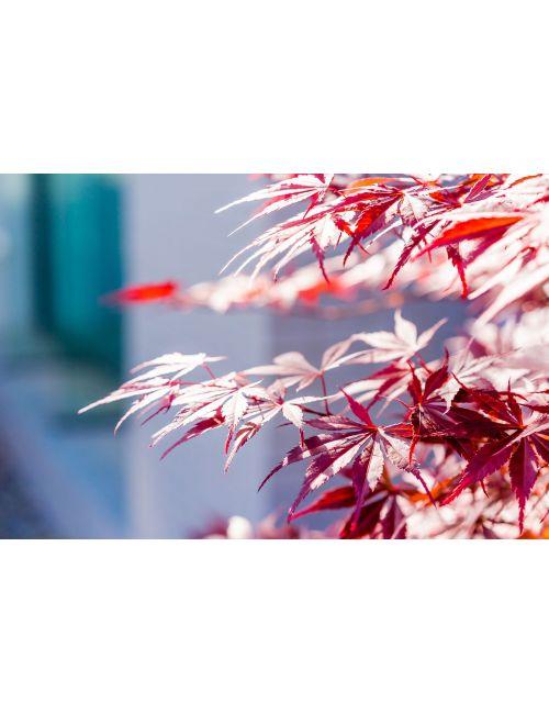 """Acero Giapponese  """"Skeeters Broom"""""""