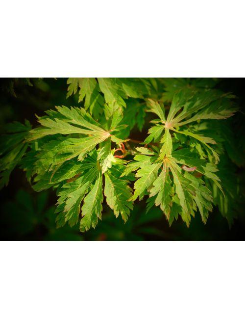 """Acero Giapponese """"Aconitifolium"""""""