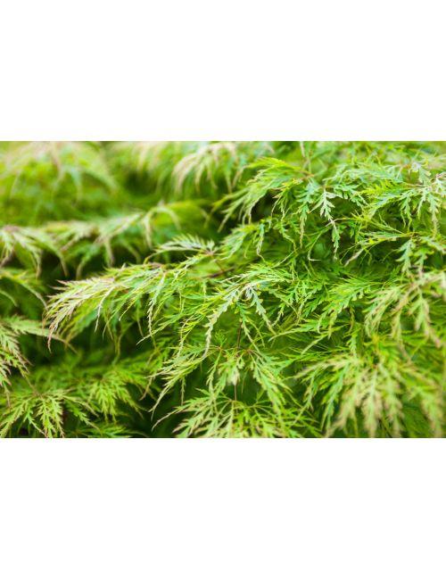 Acero giapponese dissectum viridis vaso 24 vendita for Acero giapponese in vaso