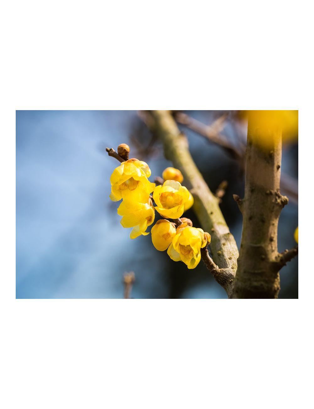 Calicanto Fiore D Inverno calycanthus praecox - vendita piante on line - solopiante.it