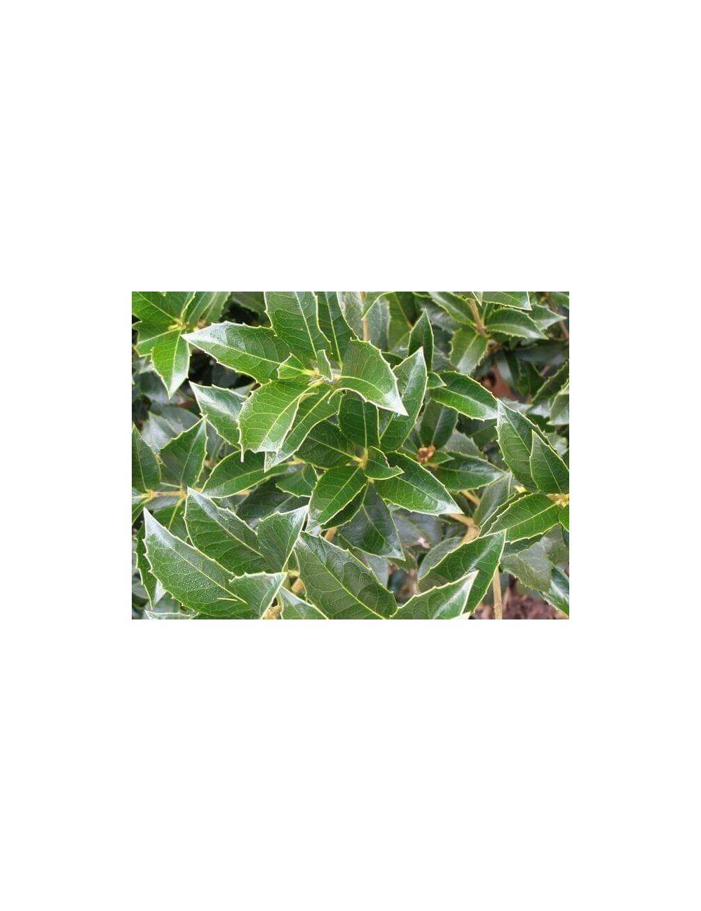 Osmanthus ilicifolius vendita piante on line - Osmanthus siepe ...