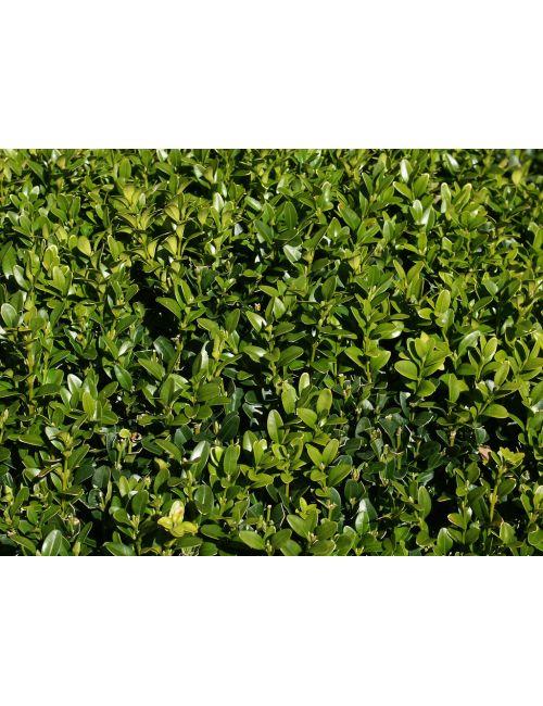 Siepe Di Bambu Prezzo.Buxus Sempervirens Arborescens Vendita Piante On Line Solopiante It