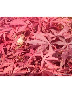 """Acero Giapponese """"Linearilobum Atropurpureum"""""""