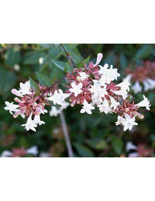 Abelia Grandiflora 18 cm