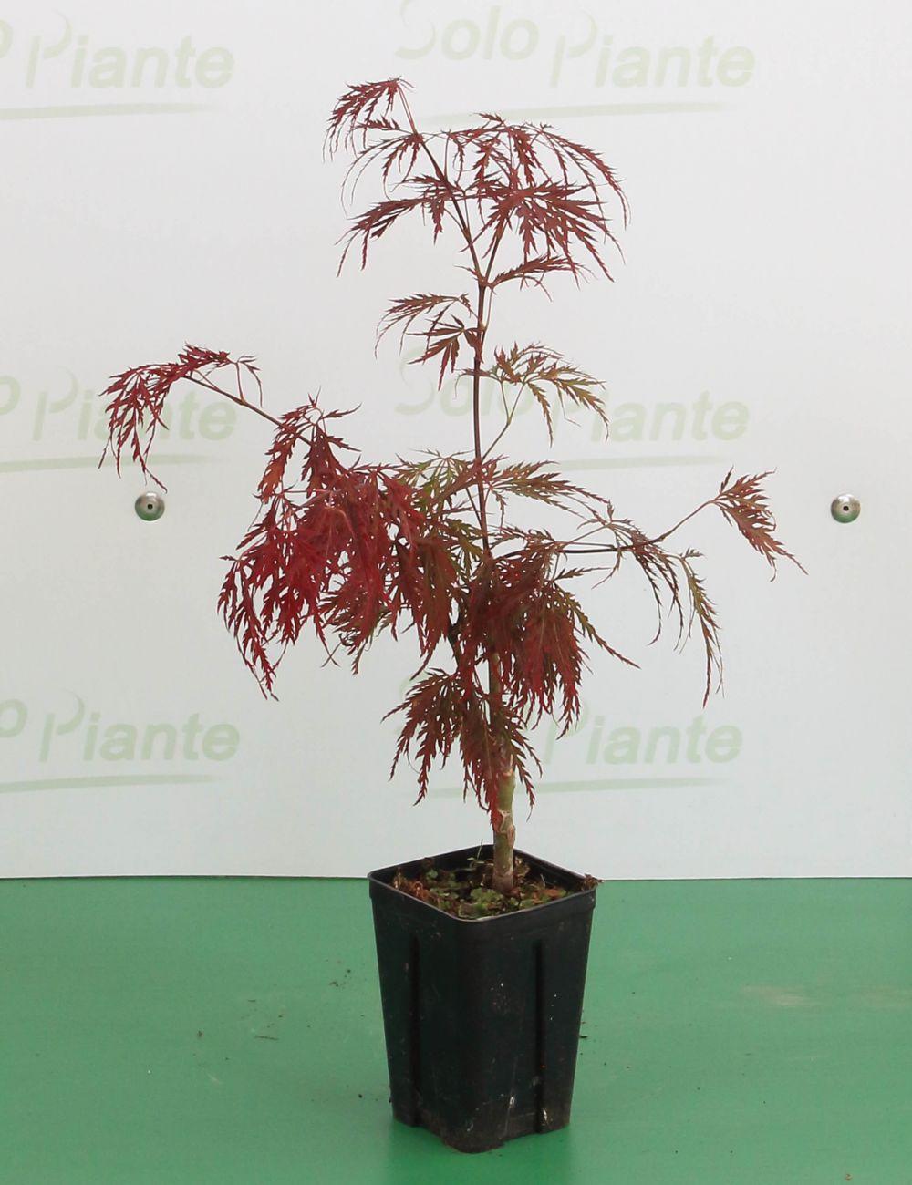 Acero Blu Giapponese piante, semi e bulbi alberi piante e bonsai acer palmatum