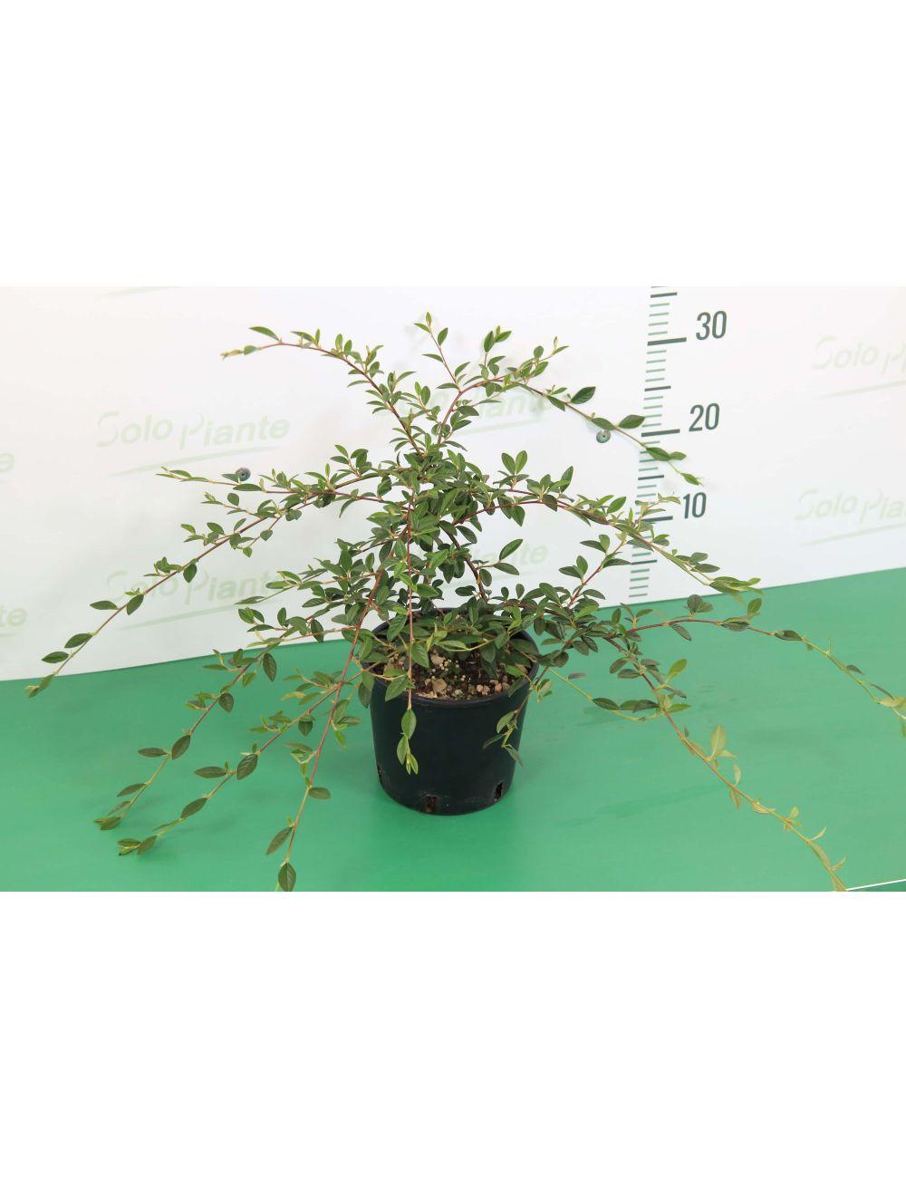 Cotoneaster horiz. Salicifolia