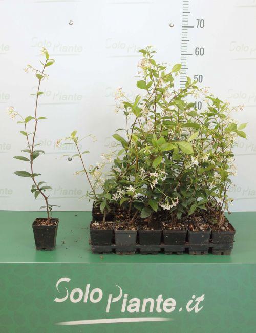 10 x Gelsomino (Trachelospermum Jasminoides) - pack