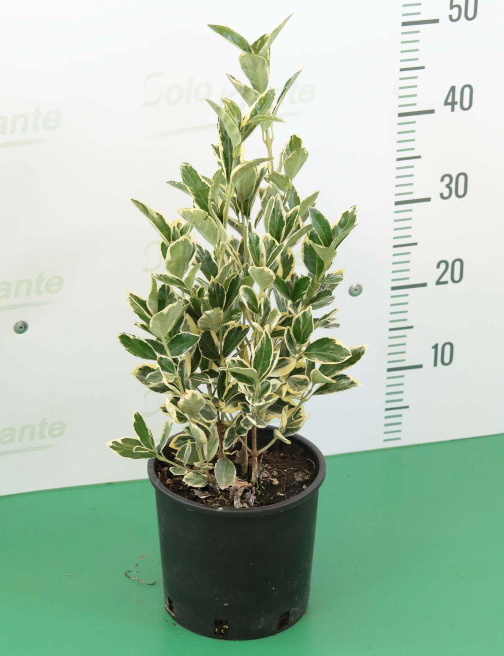Evomino variegato (Euonymus japonicus Bravo)