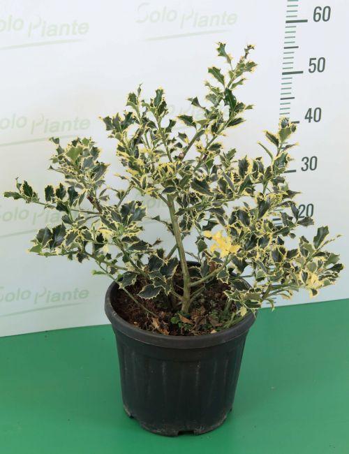 Agrifoglio Variegato (Ilex Aquifolium Argenteomarginata)