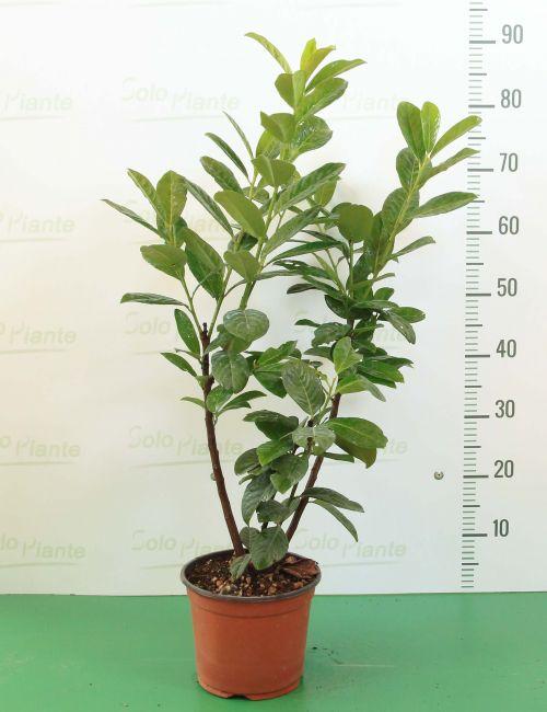 Lauro / Lauroceraso (Prunus Laurocerasus Caucasica)