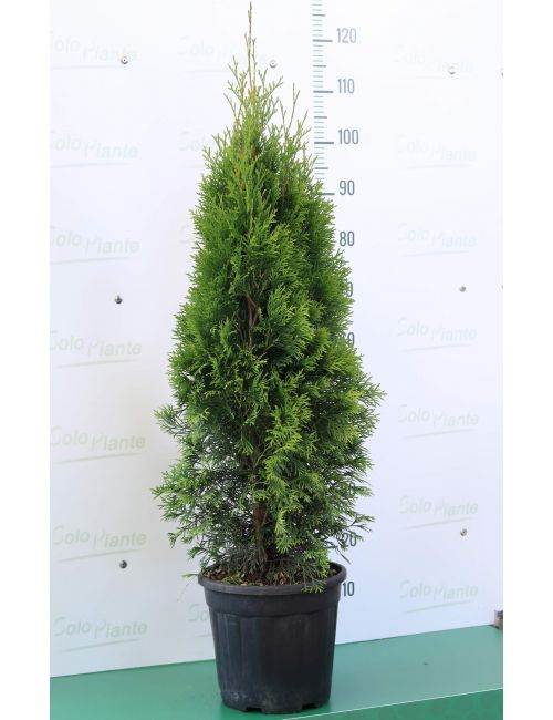 "Thuja Occidentalis ""Smaragd"""