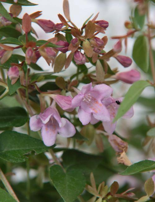Abelia Grandiflora a fiore Rosa