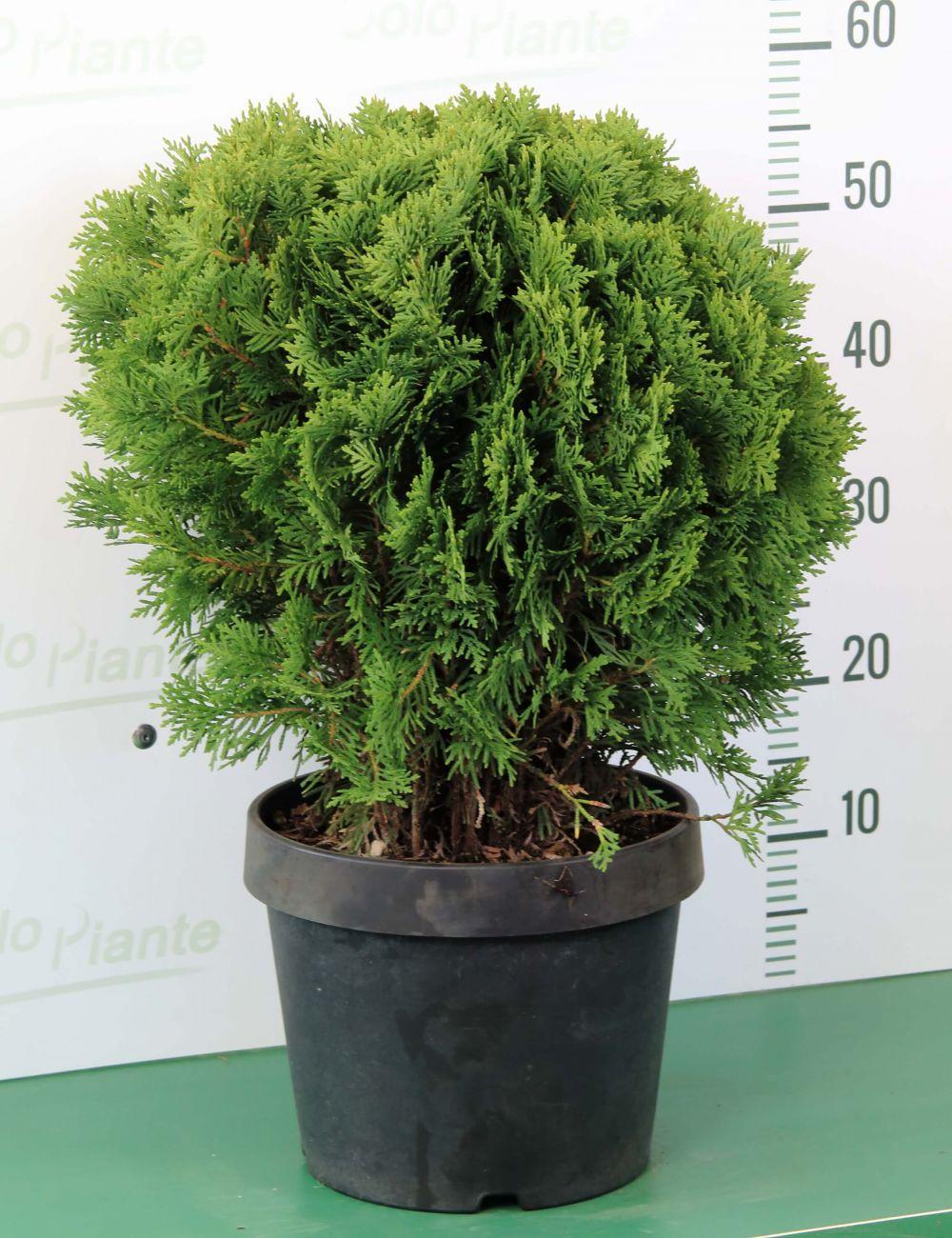 """Piante Da Frutto Nane thuja occidentalis """"danica"""" - vendita piante on line - solopiante.it"""