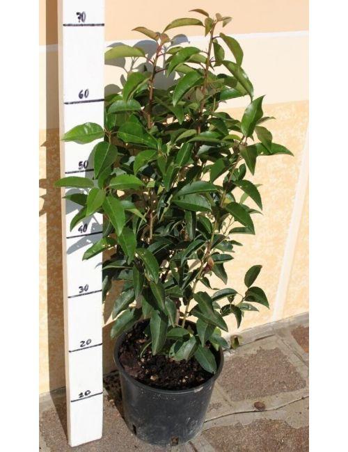 Lauro del Portogallo (Prunus Lusitanica)