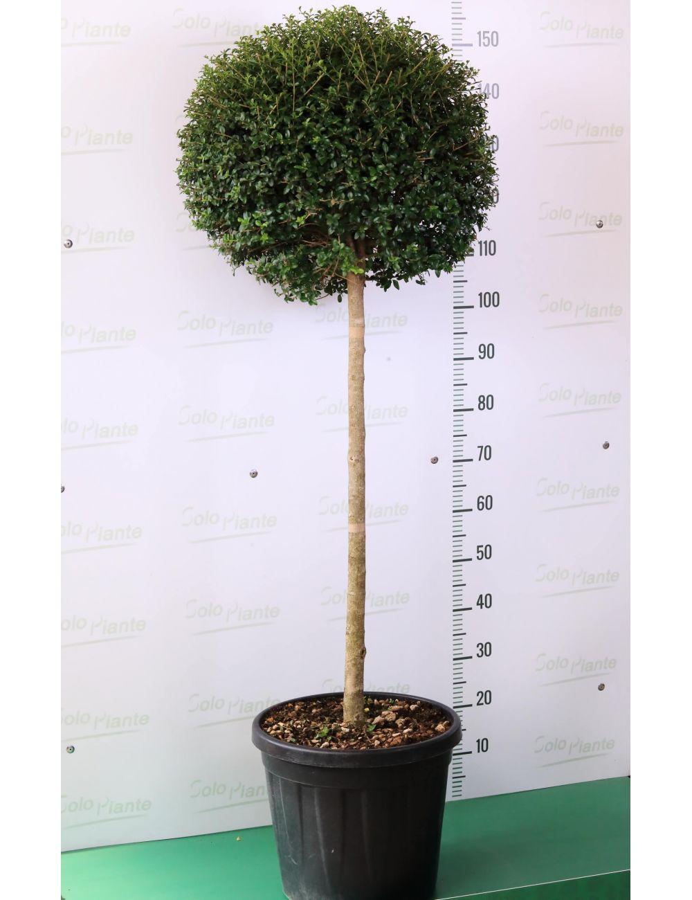 Come Potare A Palla alberello di ligustro con chioma a sfera - ligustrum jonandrum (o  delavayanum) vendita online