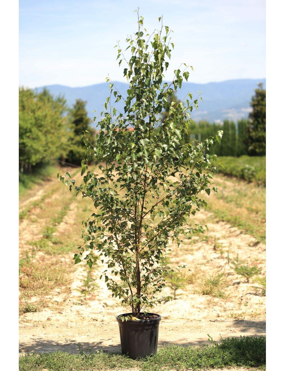 Prezzi Alberi Da Giardino betulla bianca (betula alba)