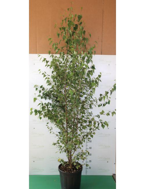 Betulla Bianca (Betula Alba)