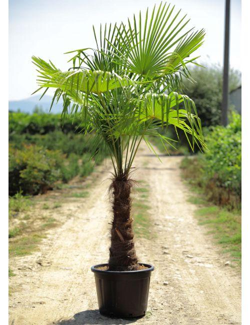 Palma (Chamaerops Excelsa)