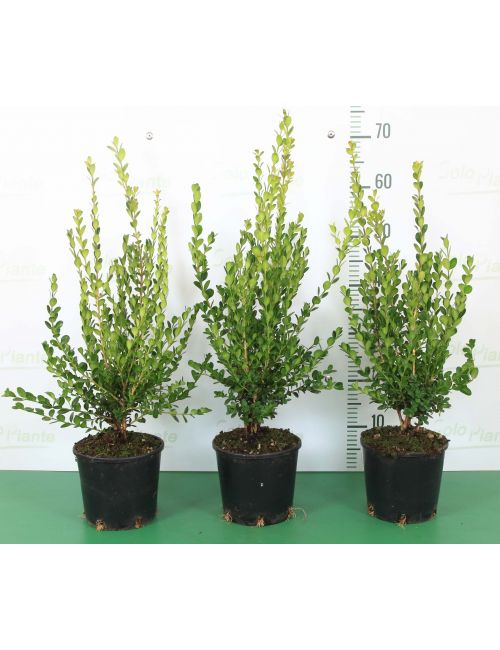 Bosso Faulkner (Buxus Microphylla Faulkner)