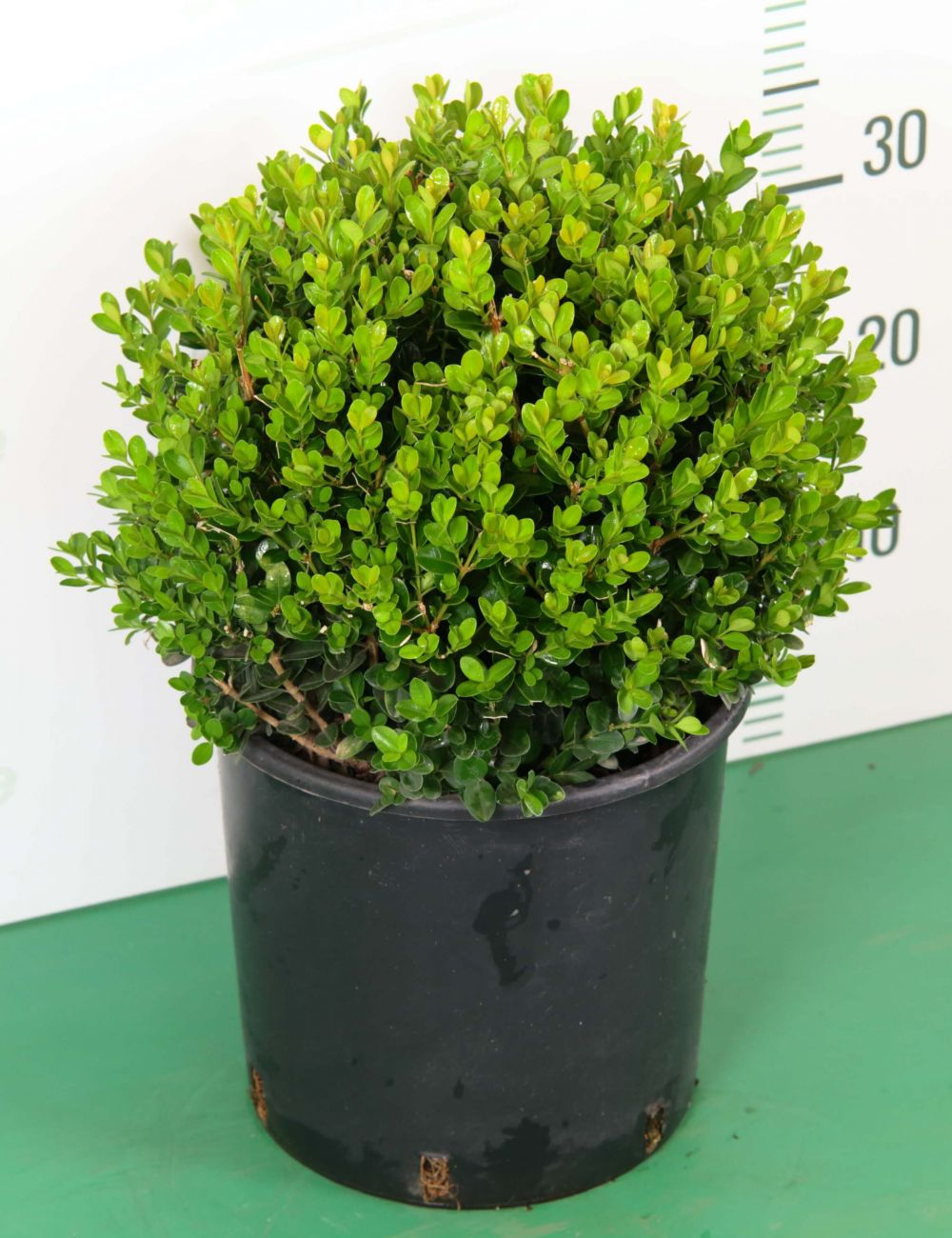 Come Potare A Palla bosso a sfera (buxus microphylla faulkner) - vendita piante on line-  solopiante.it
