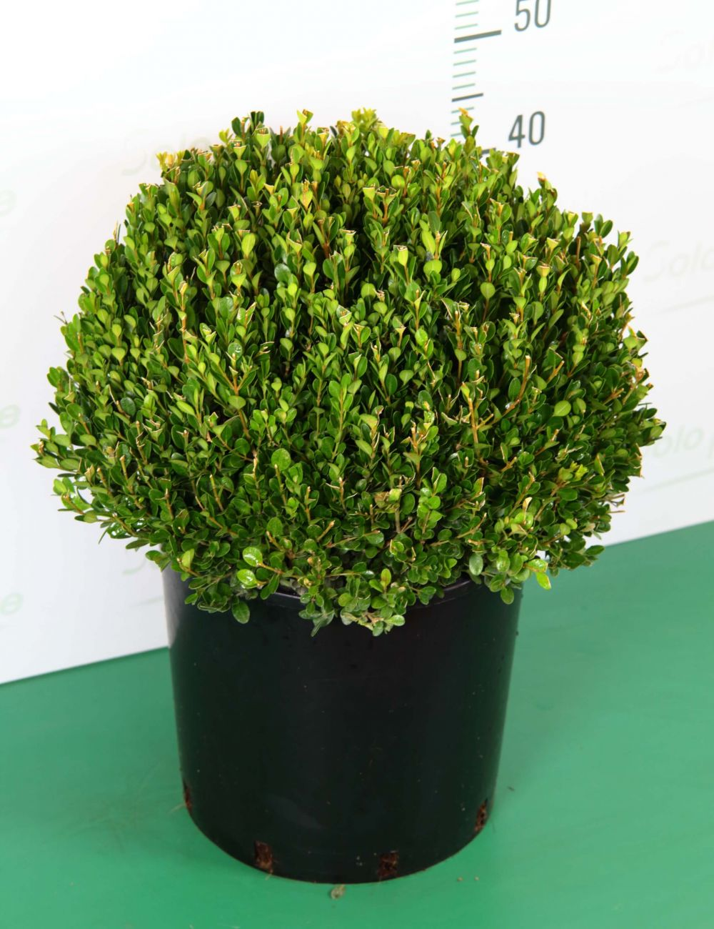 Come Potare A Palla bosso a sfera buxus microphylla faulkner - vendita piante on line - vaso 30  cm - solopiante.it