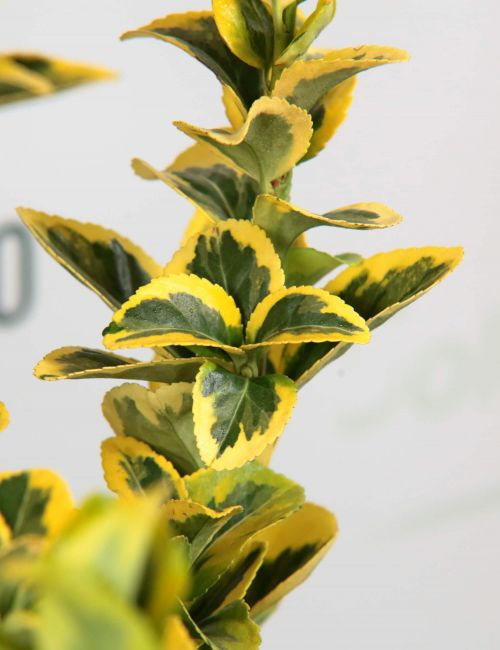 Evomino variegato (Euonymus jap. Elegantissimus Aureus)