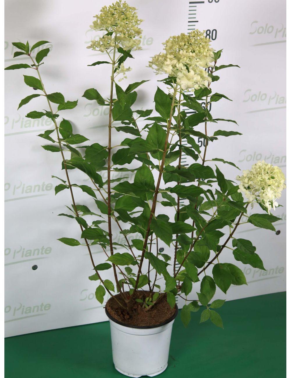 Come Far Fiorire Le Ortensie ortensia paniculata - vendita piante - solopiante.it