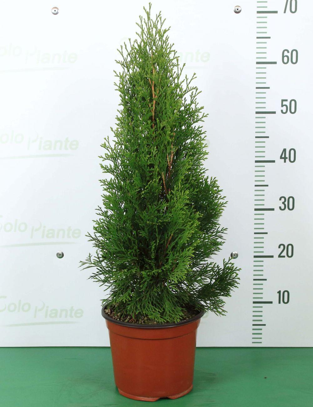 Piante Da Frutto Sempreverdi thuja occidentalis smaragd - vendita piante on line - solopiante.it