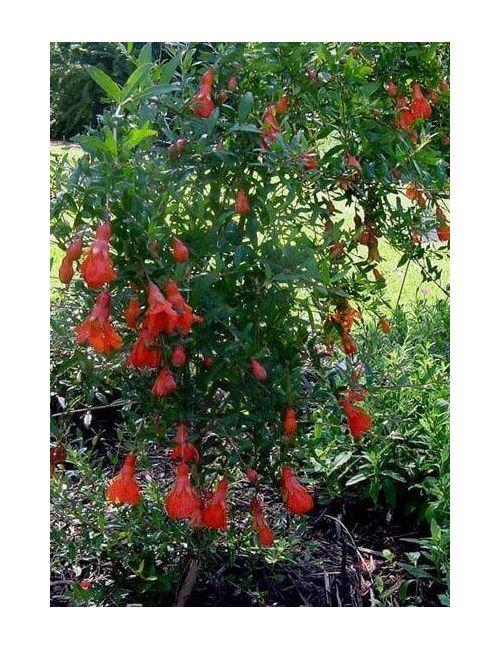 Melograno nano (Punica Granatum Nana)
