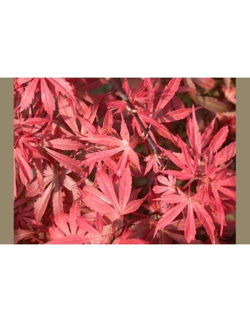 Acer Palmatum Skeeters Broom
