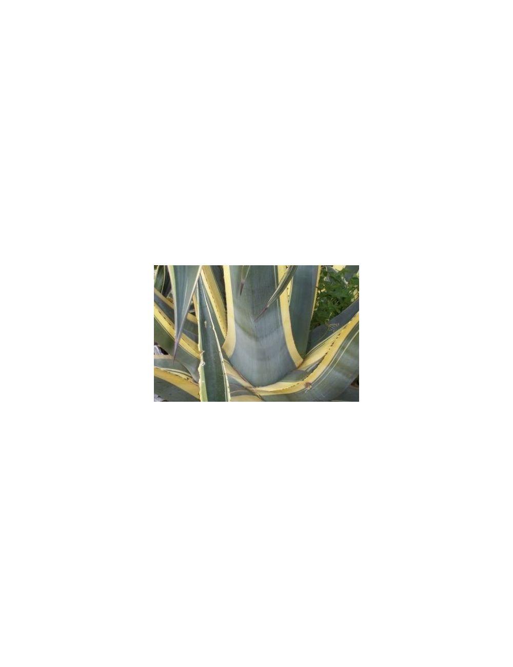Agave Americana Variegata 26 cm