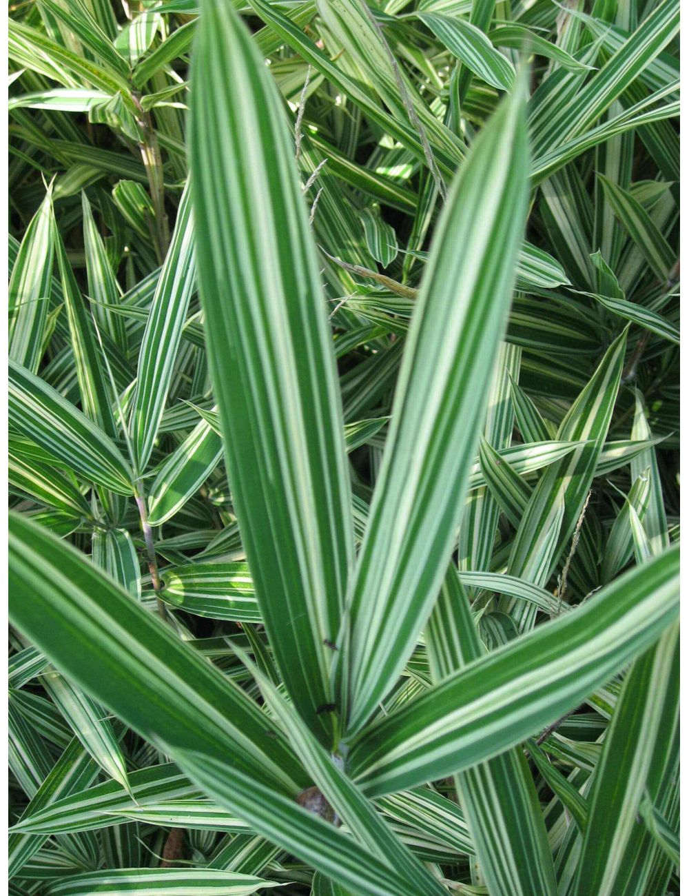 Bambù Nana (Arundinaria Fortunei Variegata)