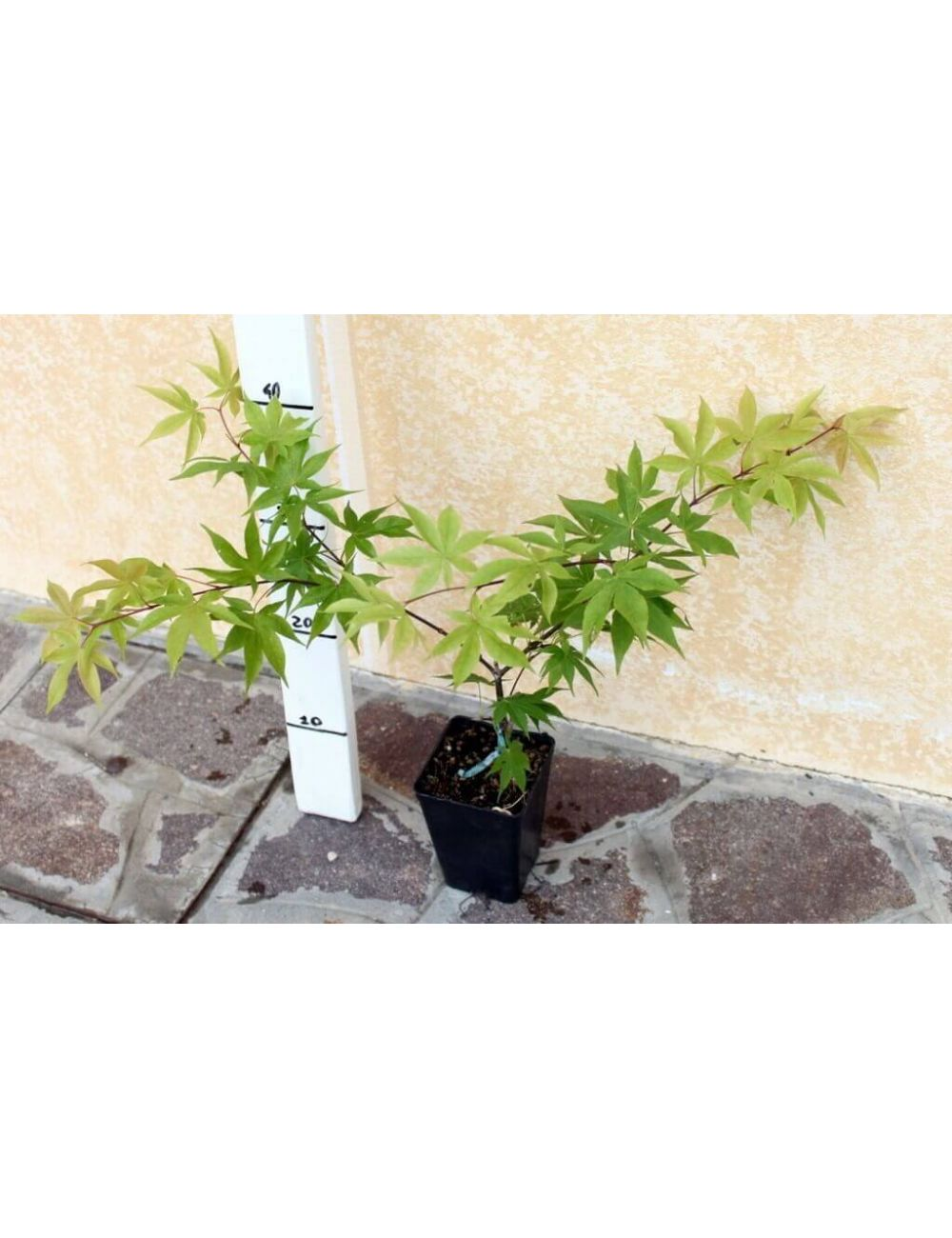 Acero giapponese osakazuki vendita piante on line for Acero giapponese nano