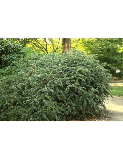 Berberis Verrucolosa (Crespino Verrucoso)