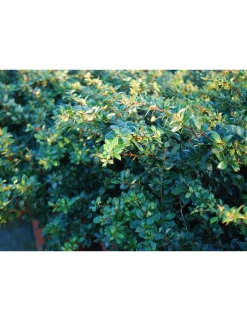 Berberis Wallich's Purple