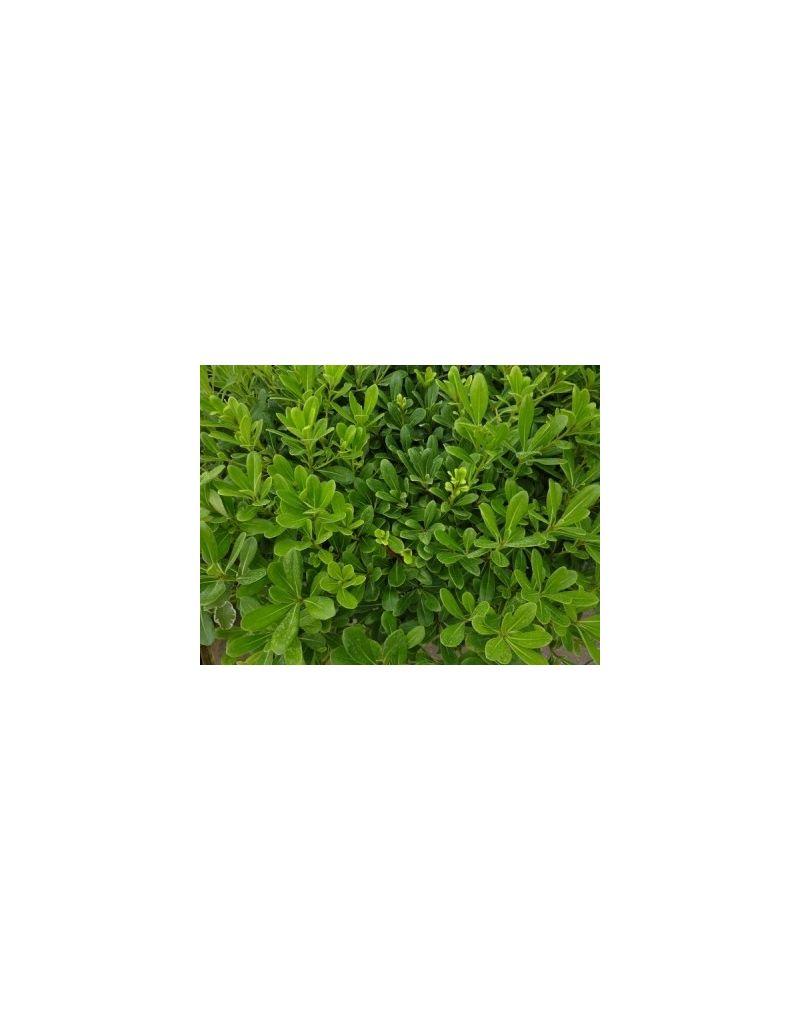 Agrifoglio verde ilex cornuta vendita piante on line for Cipresso nano