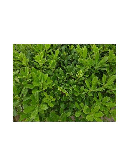 Pitosforo nano vaso 18 cm vendita piante on line for Cipresso nano