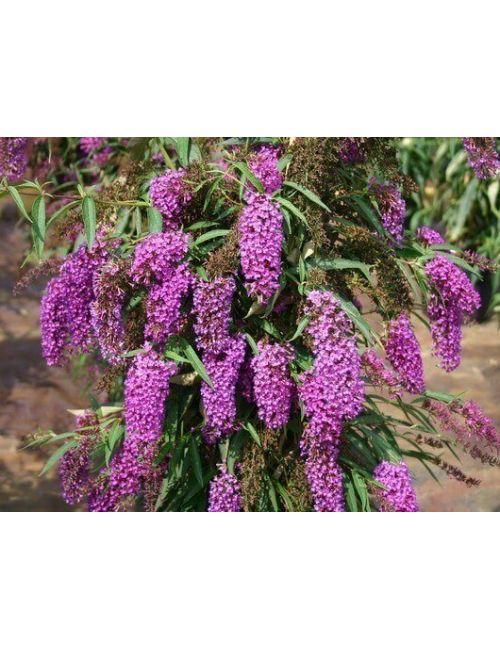 Buddleja Davidii (Albero delle farfalle) Nanho Purple