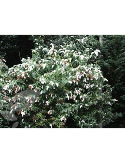 Buddleja Davidii (Albero delle farfalle) White Profusion