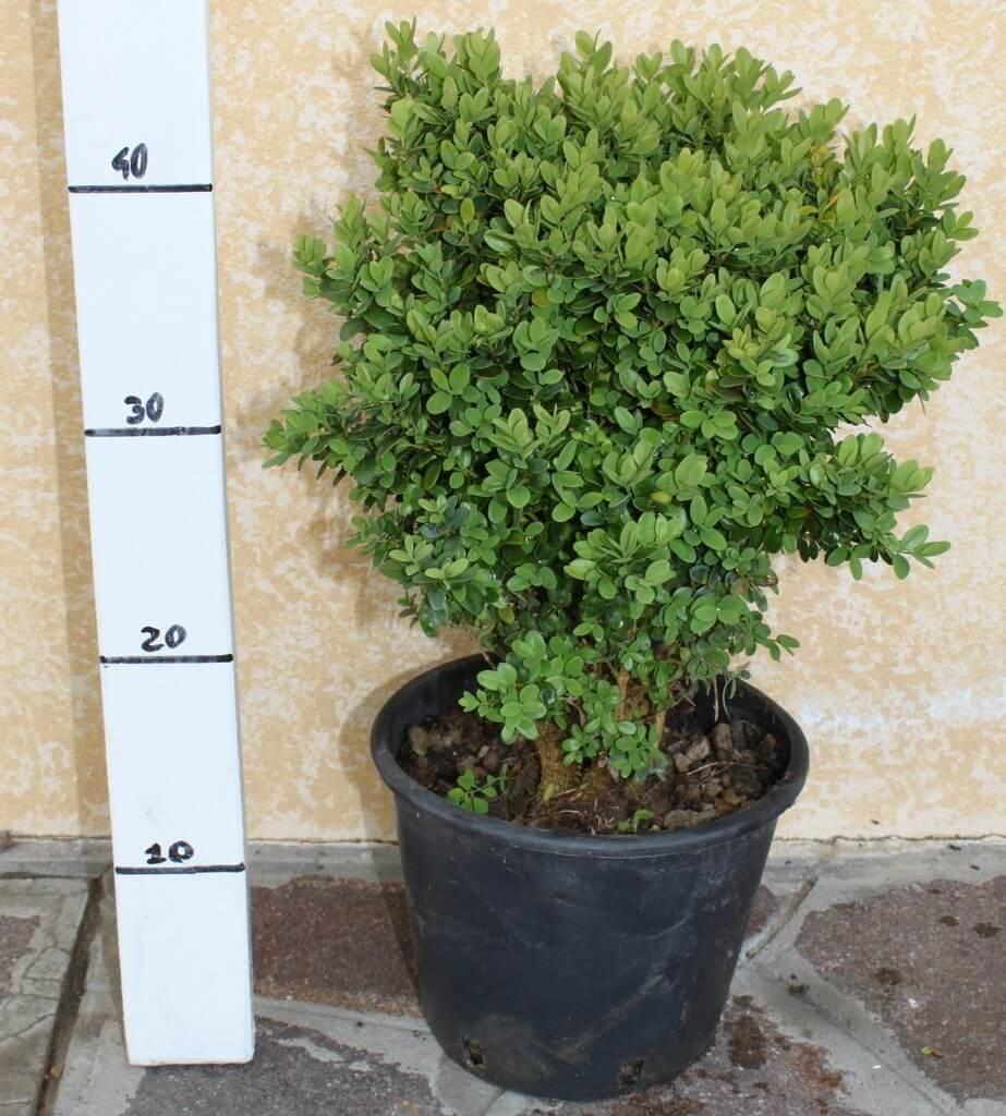 Vendita Piante Da Siepe : Bosso nano buxus pumila vendita piante on line