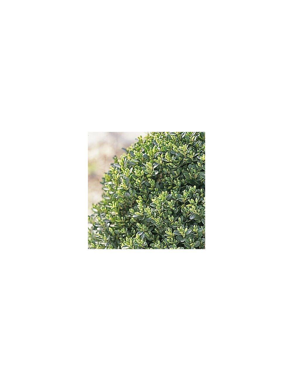 Bosso nano (Buxus Pumila)