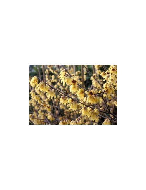 Calycanthus Praecox (Calicanto d'Inverno)
