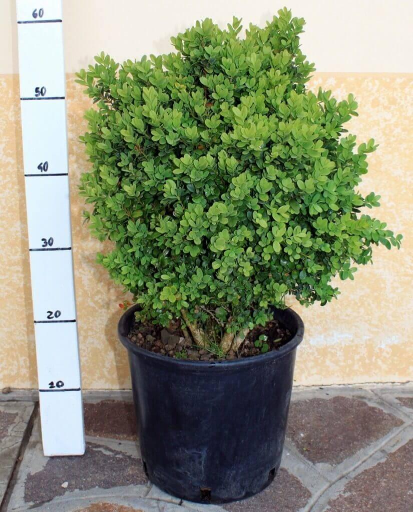 Bosso nano buxus pumila vendita piante on line for Piante da frutto vendita on line