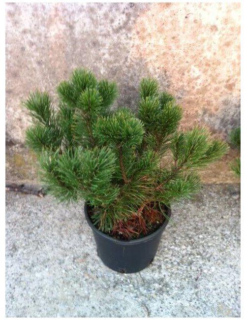 Pino nano (Pinus Mugo Mughus)