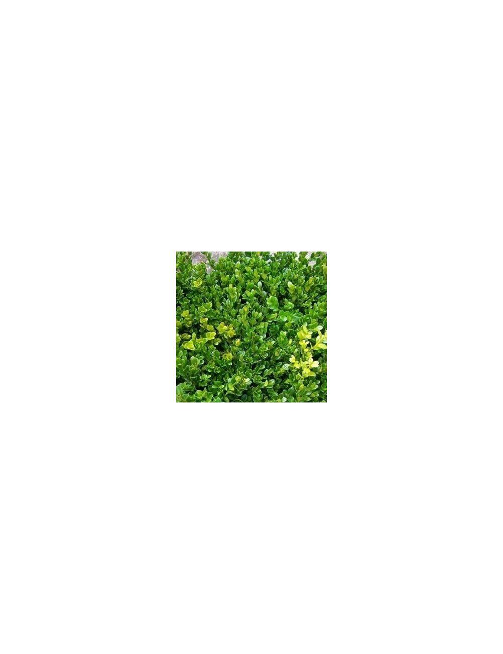 Bosso a sfera (Buxus Microphylla Faulkner)